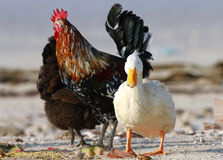 A domestic white duck and roosters Stock Images