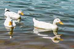 Domestic White Duck Swimming in the Pond Stock Photography