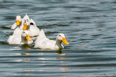 Domestic White Duck Swimming in the Pond Stock Photo