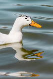 Domestic White Duck Swimming in the Pond Royalty Free Stock Photos