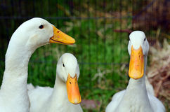 Domestic white duck. Theree domestic white duck in a farm.Traditional free range poultry farming Stock Photos