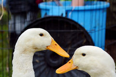 Domestic white duck Stock Photos