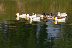 Domestic white ducks float in a pond in a summer sunny day. Stock Image