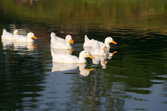 Domestic white ducks float in a pond in a summer sunny day. Stock Photos