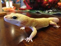 Domestic White Gecko. Gecko Hemidactylus frenatus is a reptile native of Southeast Asia, this a domestic exotic pet, eat insects, loves to stay warm, this gecko Stock Images
