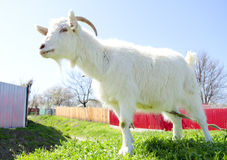 Domestic white goat in front of rural area Royalty Free Stock Photos