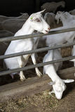 Domestic white goats in dutch stable Royalty Free Stock Photo