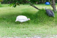 Domestic white and gray guinea fowl is walking on green grass. Domestic white and gray guinea fowl is walking on green grass, very beautiful Stock Photography