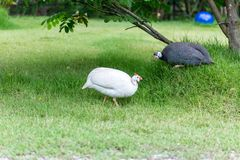 Domestic white and gray guinea fowl is walking on green grass. Domestic white and gray guinea fowl is walking on green grass very beautiful Royalty Free Stock Photo