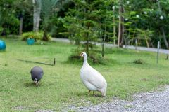 Domestic white and gray guinea fowl is walking on green grass. Domestic white and gray guinea fowl is walking on green grass, very beautiful Royalty Free Stock Image