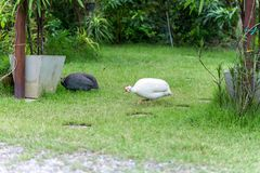 Domestic white and gray guinea fowl is walking on green grass. Domestic white and gray guinea fowl is walking on green grass, very beautiful Stock Photos