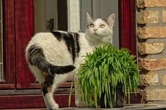 Cat standing next to a pot of grass on the window still stock image