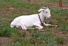 Domestic white horned goat with collar at rest Royalty Free Stock Image