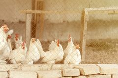 Domestic white layer hen with red crest. Toned image. Stock Image