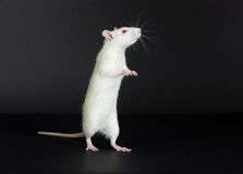Domestic white rat Stock Image