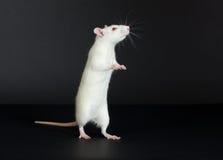Domestic white rat Stock Image