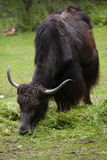 Domestic yak Bos grunniens. Stock Photos