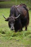 Domestic yak Bos grunniens. Royalty Free Stock Photo