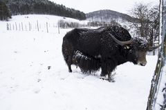The domestic yak Bos grunniens. Is a long-haired domesticated bovid found throughout the Himalayan region of the Indian subcontinent, the Tibetan Plateau and as royalty free stock images