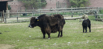 Domestic yak. A female domestic yak with its puppy stock photo