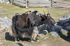 Domestic yak 6 Royalty Free Stock Photos