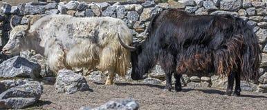 Domestic yaks 1 Stock Photography