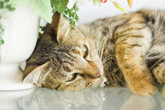 Domestic yellow cat lying down. On mirror Royalty Free Stock Photo