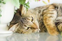 Domestic yellow cat lying down Royalty Free Stock Photo