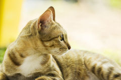 Domestic yellow cat Royalty Free Stock Photo