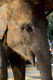 Domestic young elephant Stock Images