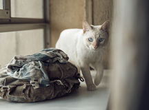 Domestic young male white blue eyed cat. Home interior. Stock Images