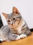 Domestic young short-haired whiskered cat sitting Royalty Free Stock Photography