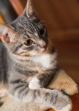 Domestic young short-haired whiskered cat sitting and looking Royalty Free Stock Photos