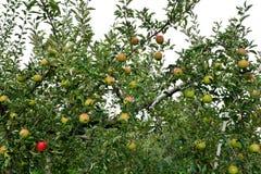 Domestica της Apple Malus, στο δέντρο Στοκ Εικόνα