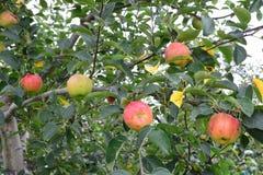 Domestica της Apple Malus, στο δέντρο Στοκ φωτογραφίες με δικαίωμα ελεύθερης χρήσης