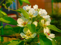 Domestica яблони дома цветения Яблока Стоковое Изображение