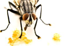 飞行家(苍蝇座domestica) 库存图片