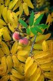 Domestica del Sorbus del servizio albero, frutti maturi e foglie nel aut Fotografie Stock Libere da Diritti