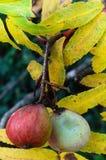 Domestica del Sorbus del servizio albero, frutti maturi e foglie nel aut Fotografia Stock