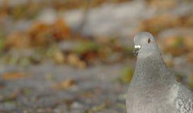 Domestica di colomba livia del piccione domestico fotografia stock