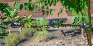 Domestica joven injertado del Malus del manzano imagen de archivo