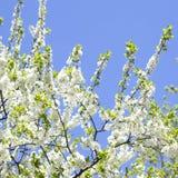 Domestica Malus Άνθος δέντρων της Apple ενάντια στον μπλε νεφελώδη ουρανό Στοκ φωτογραφία με δικαίωμα ελεύθερης χρήσης