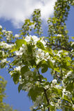 Domestica Malus Άνθος δέντρων της Apple ενάντια στον μπλε νεφελώδη ουρανό Στοκ Φωτογραφία