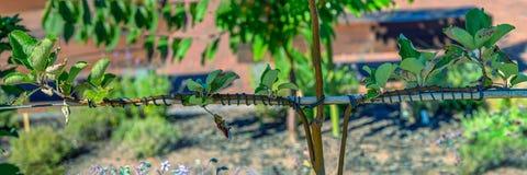 Domestica novo transplantado do Malus da árvore de maçã imagem de stock