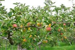 Domestica van Apple Malus, op de boom Stock Afbeelding