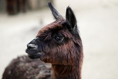 Domesticated Alpaca Vicugna pacos species of South American camelid. Close-up of domesticated Alpaca Vicugna pacos species of South American camelid. Photography stock images