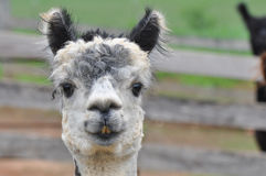 Domesticated Alpacas Stock Photo