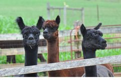 Domesticated Alpacas Royalty Free Stock Images