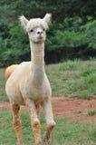 Domesticated Alpacas Stock Photography