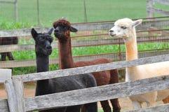 Domesticated Alpacas Royalty Free Stock Photos